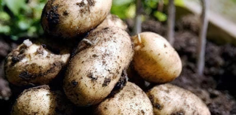 Найсмачніші сорти картоплі: опис, фото 5