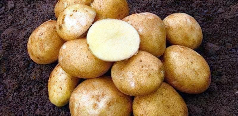 Найсмачніші сорти картоплі: опис, фото 7