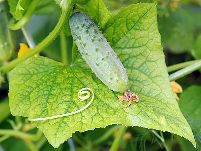 Режим вирощування огірків порушувати не можна