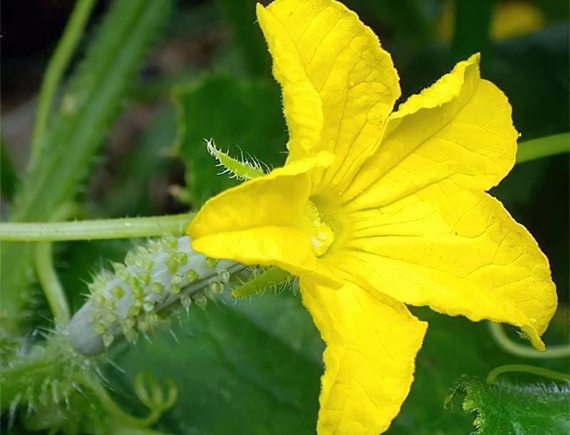 Квітка огірка готова до запилення