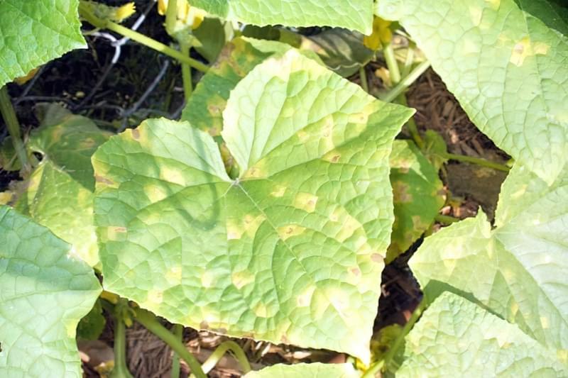 Огірки: жовтіють листя і зав'язі