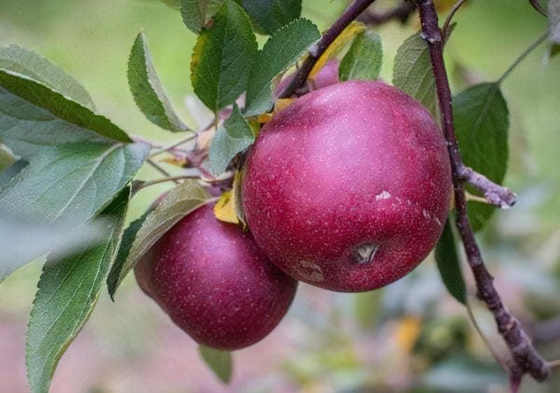 Середня вага яблука на момент технічної стиглості – 180 г