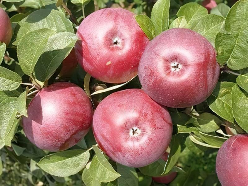 Пізня яблуня зі стабільним врожаєм або сорт Лобо 1