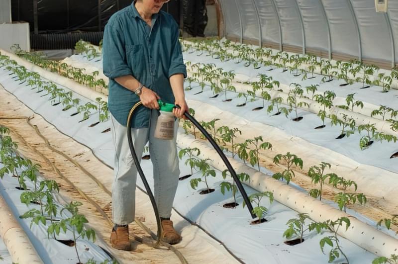 Позакореневе підживлення томатів: перевірені способи 1
