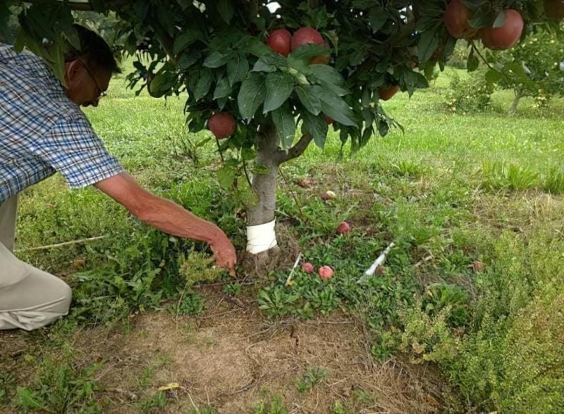 Розмноження яблуні живцями і відводками 1