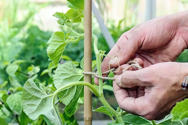 При вирощуванні дині в теплиці, стебла підв'язують до опори
