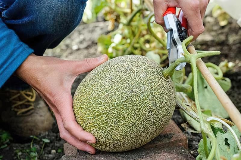 Диня: вирощування в теплиці, парнику і у відкритому грунті 1