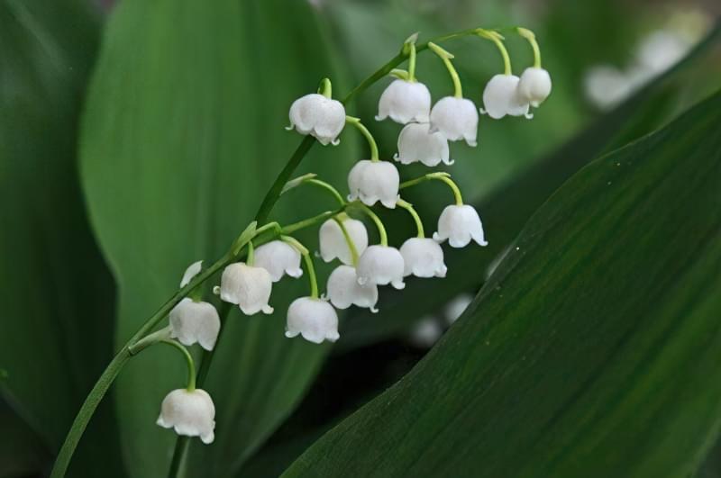 Конвалія травнева (Convallaria majalis)