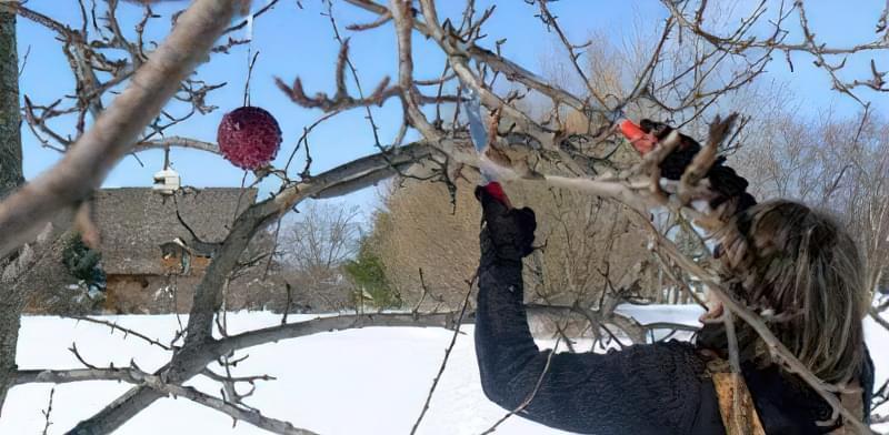 Як омолодити стару яблуню: схема поступової омолоджувальної обрізки за 3 роки 2