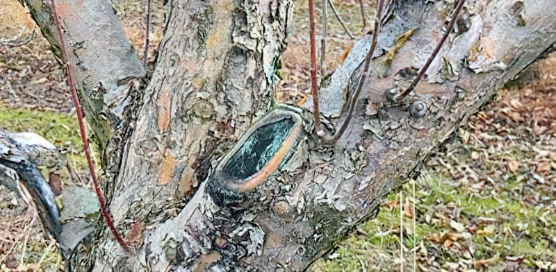Як омолодити стару яблуню: схема поступової омолоджувальної обрізки за 3 роки 4