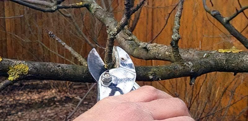 Як омолодити стару яблуню: схема поступової омолоджувальної обрізки за 3 роки 6