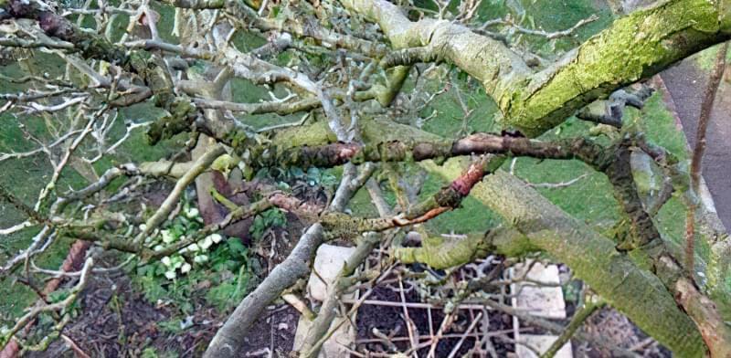 Як омолодити стару яблуню: схема поступової омолоджувальної обрізки за 3 роки 9