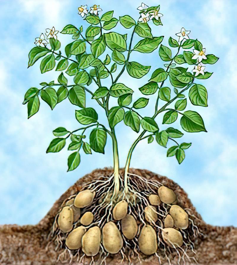 Як підгортати картоплю вручну, мотоблоком, сапою 2