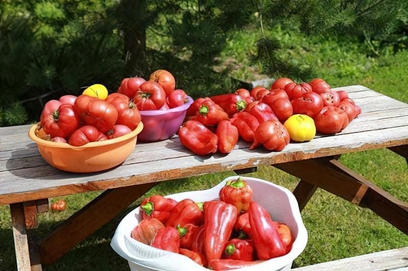 Урожай перцю на столі