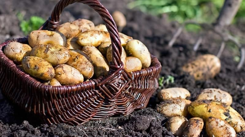 Полив збільшує врожайність картоплі