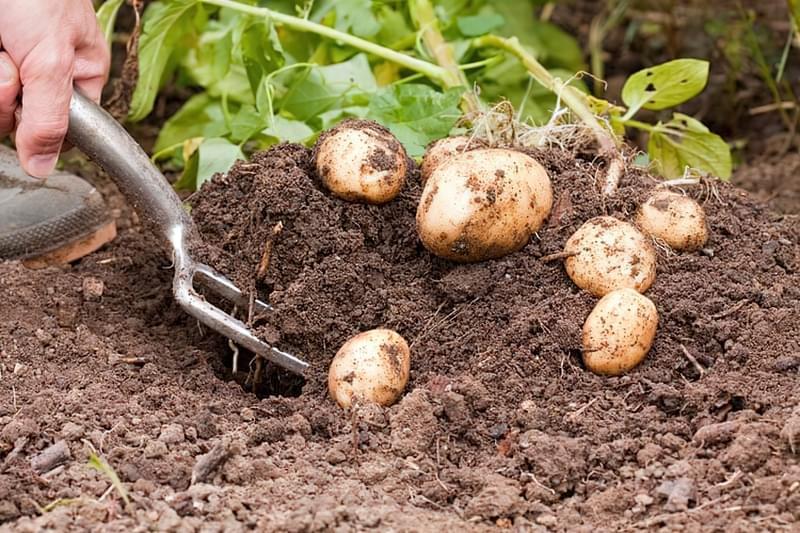 Картопля: секрети вирощування великого врожаю 1