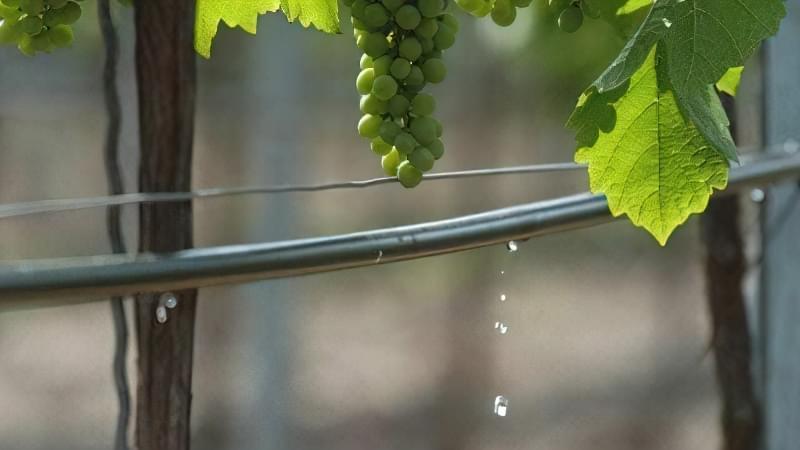 Крапельний полив при вирощуванні винограду