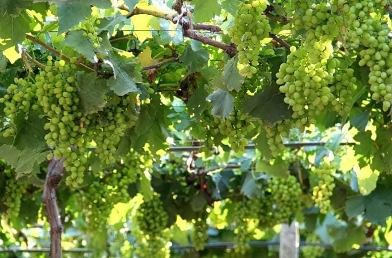 Існують сорти винограду, які біологічно схильні до осипання зав'язі
