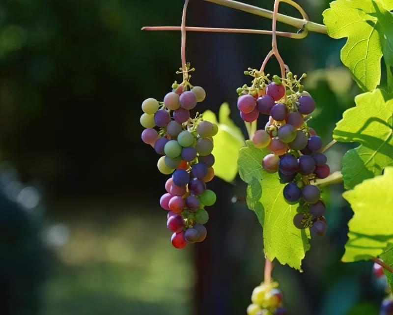 Чому обсипаються зав'язі на винограді? 1