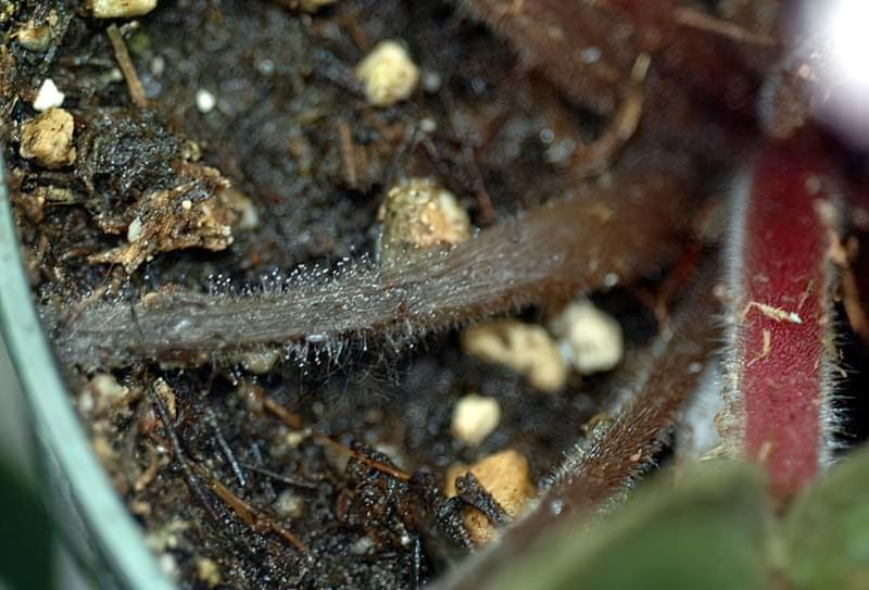 Фітофтороз на стеблах сенполії
