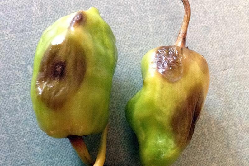 Ознаки фітофторозу на плодах солодкого перцю