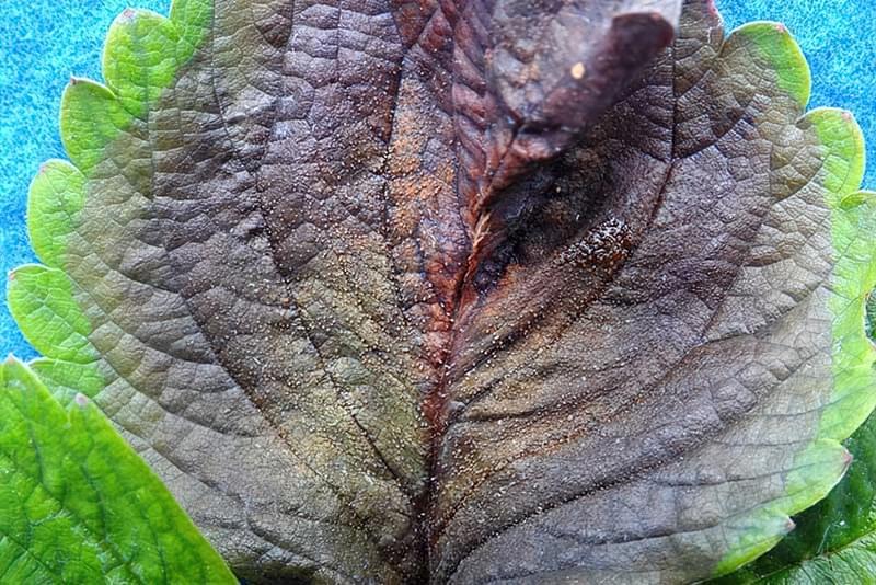 Симпотомі фітофторозу на аркуші полуниці