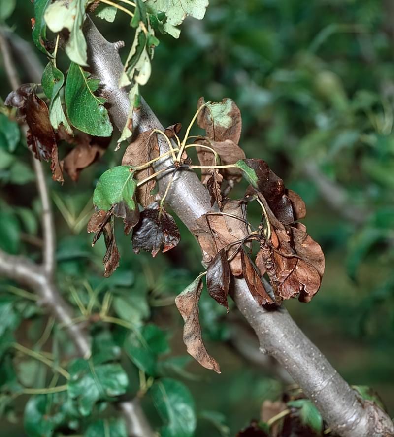 Ознаки фітофторозу яблуні