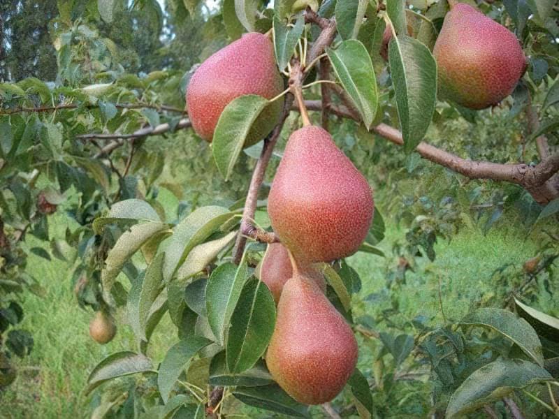 Груша Червонобока має плоди, покриті олійною шкіркою
