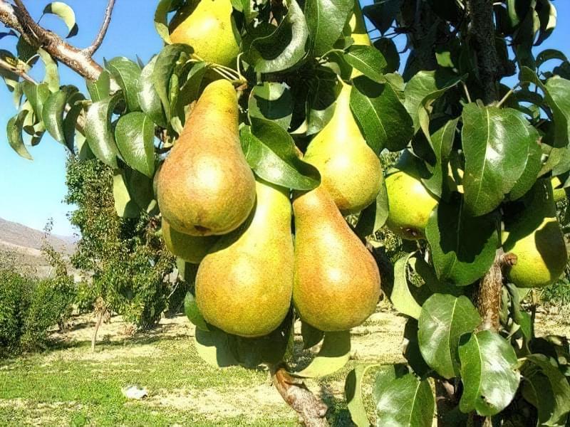 Груша Бере Боск має великі плоди вагою до 180 г