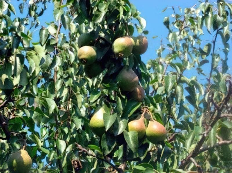 Маляевская пізня – високе дерево з пишною кроною