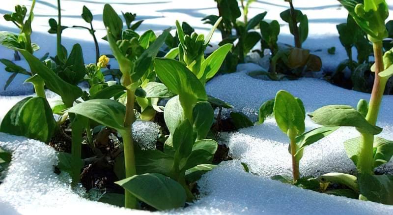 Озимі посіви: коли і як садити 15