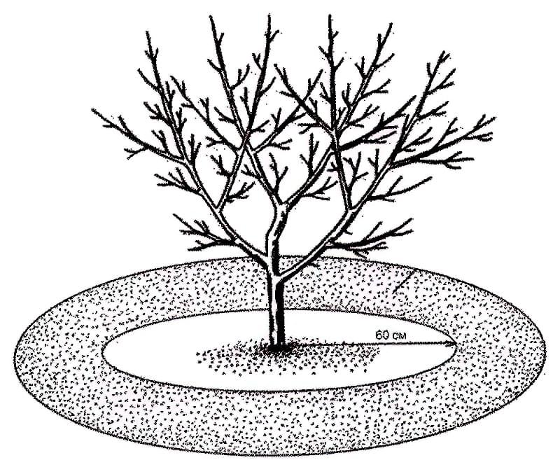 Підгодівля і внесення добрив під яблуні восени 3