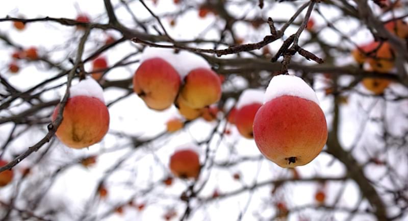 Підгодівля і внесення добрив під яблуні восени 1