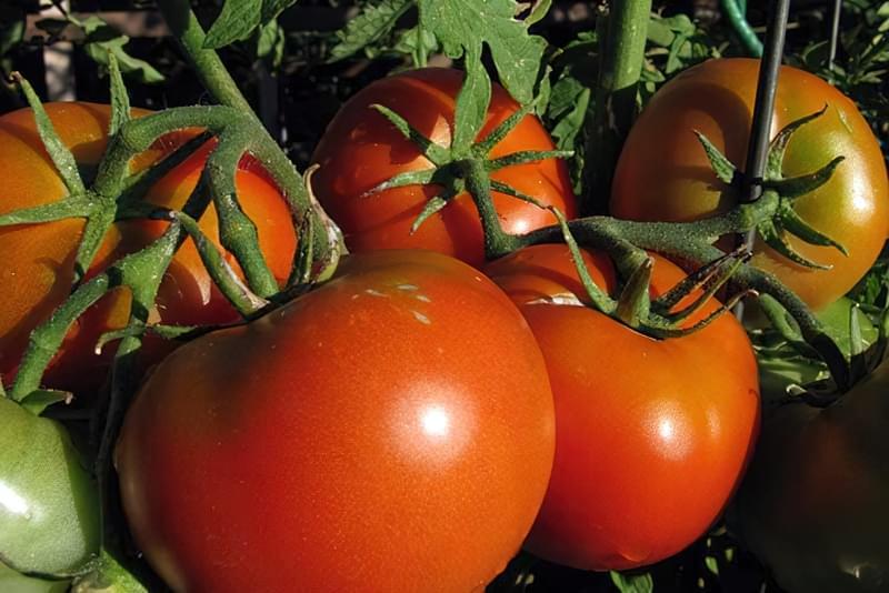 Великі томати - результат підгодівлі правильними добривами