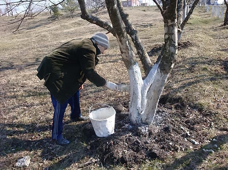 Побілка садових дерев восени і навесні: терміни, склади розчинів 2