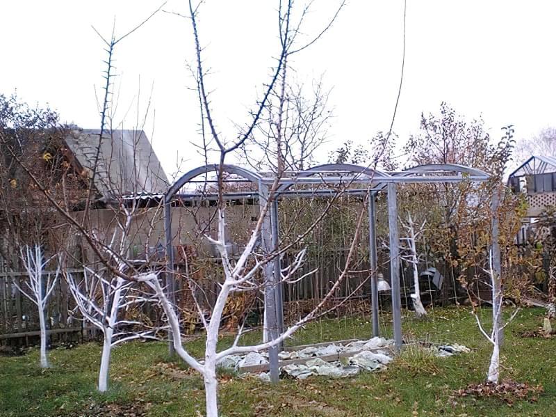 Побілка садових дерев восени і навесні: терміни, склади розчинів 3