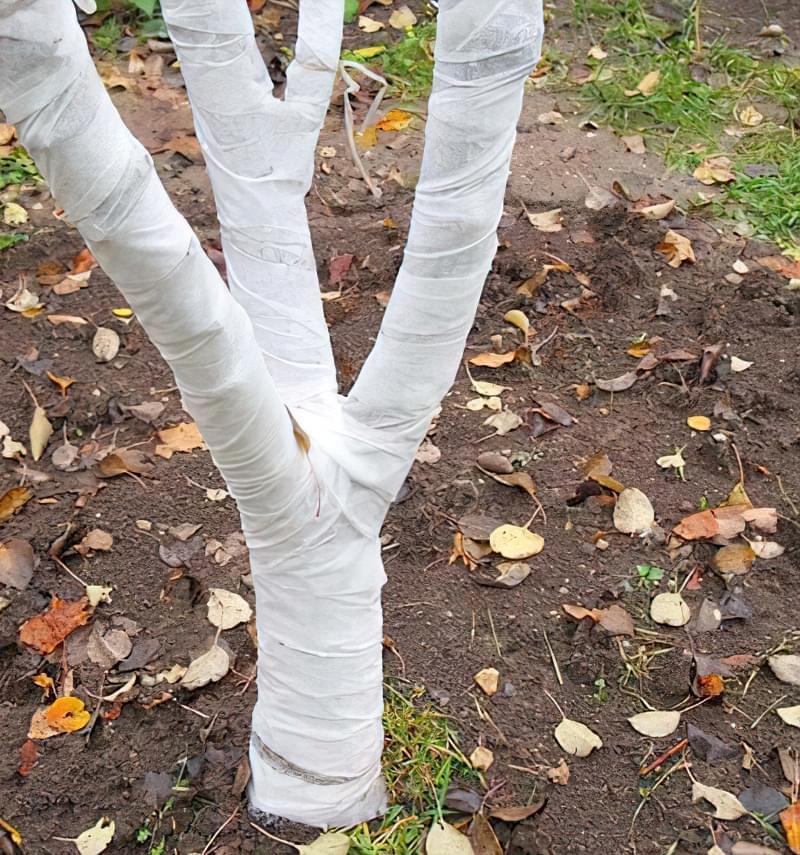 Побілка садових дерев восени і навесні: терміни, склади розчинів 4