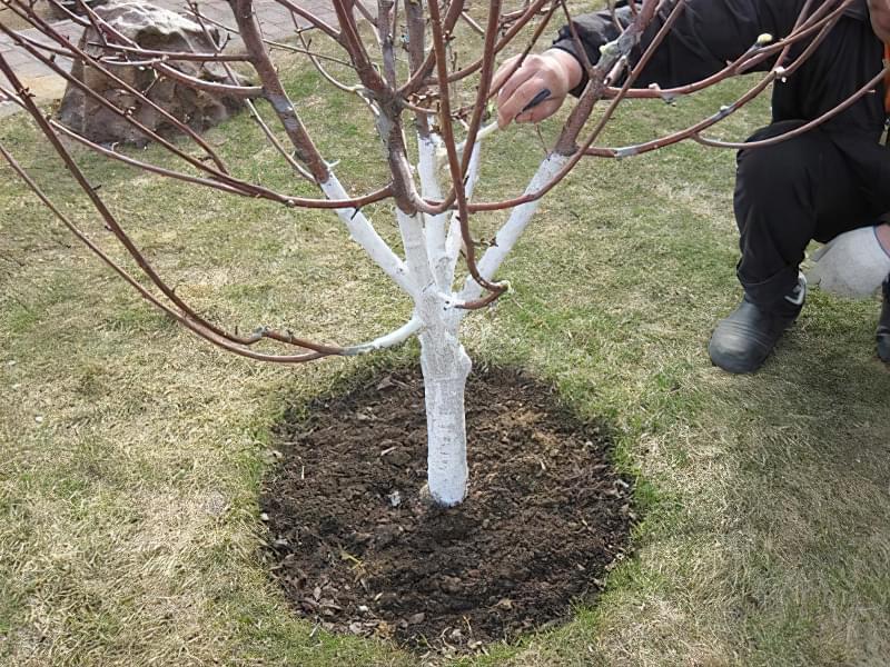 Побілка садових дерев восени і навесні: терміни, склади розчинів 6
