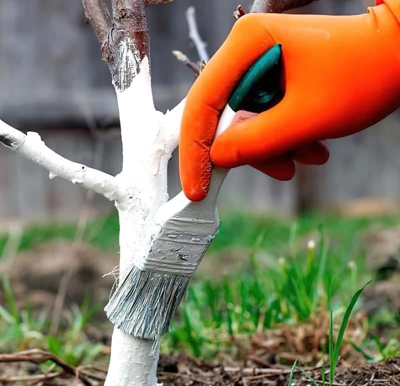 Побілка садових дерев восени і навесні: терміни, склади розчинів 8
