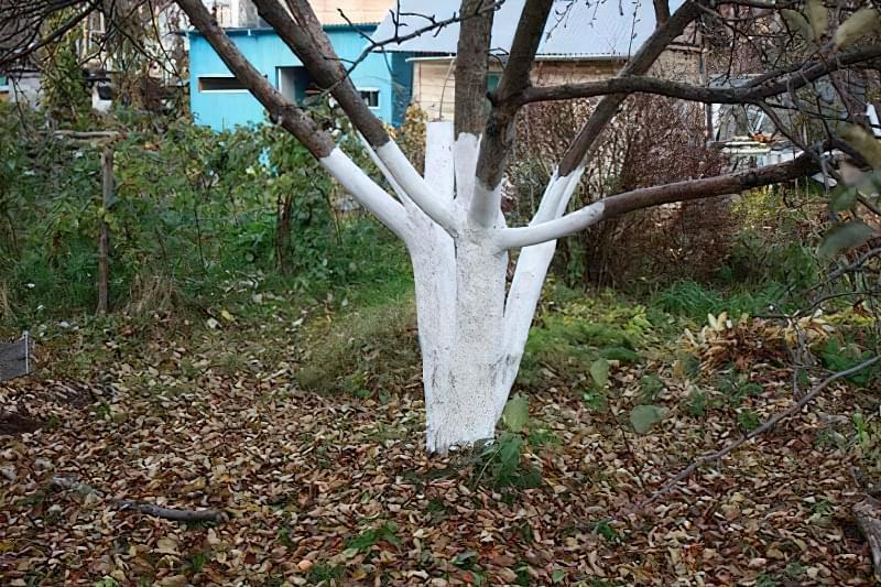Побілка садових дерев восени і навесні: терміни, склади розчинів 9