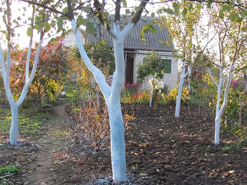 Побілка садових дерев восени і навесні: терміни, склади розчинів 1