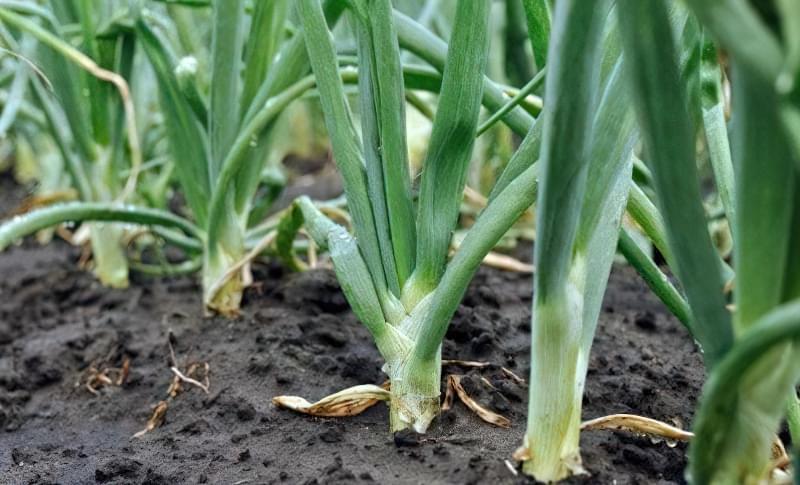 Правильний полив цибулі у відкритому грунті
