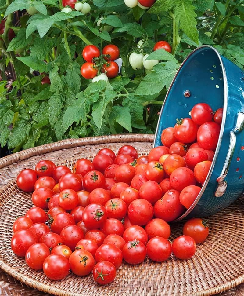 Агротехніка томатів черрі аналогічна