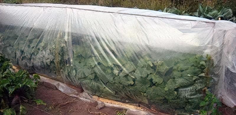 Як змусити огірки довше плодоносити