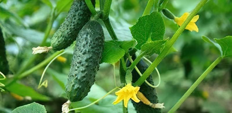 Як можна продовжити плодоношення огірків до осені 1