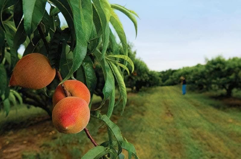 персикове дерево фото
