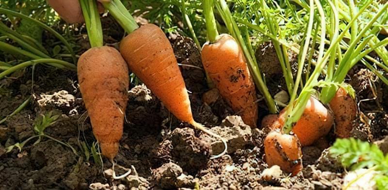 Викопана морква