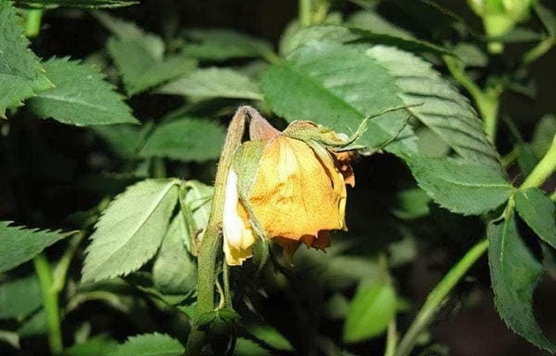 Чому у троянди опадає листя та що робити 1
