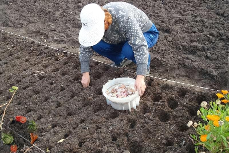 Коли садити часник під зиму - терміни і особливості посадки 1