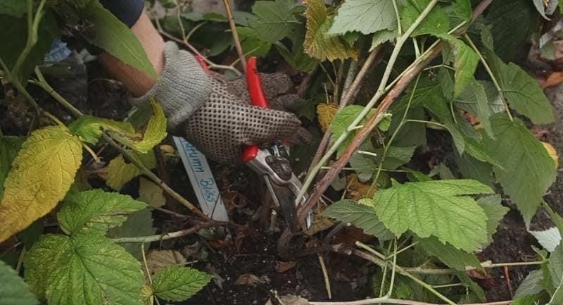 правильна обрізка малини восени